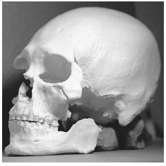 This plastic cast is of the 9,500 year-old skull found to be distinct from that of American Indians. Scientists believe that the man was long-limbed, middle-aged, approximately 5 feet 8 inches tall and weighed around 160 pounds. AP/WIDE WORLD PHOTOS